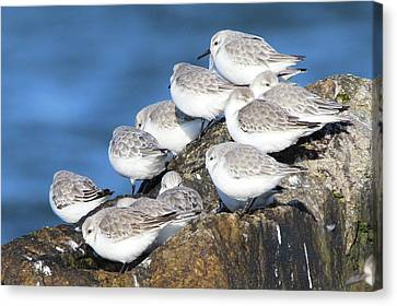 Sanderling Westhampton New York Canvas Print
