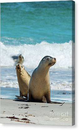 Sea Lions Australia Canvas Print