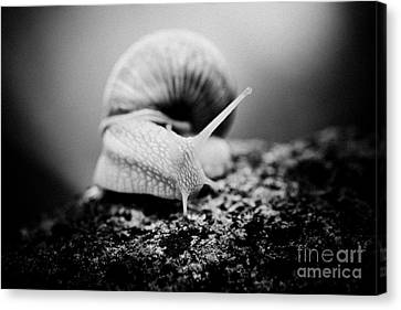 Snail Crawling On The Stone Artmif Canvas Print by Raimond Klavins