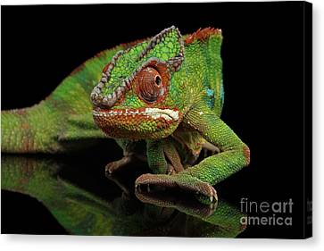 Sneaking Panther Chameleon, Reptile With Colorful Body On Black Mirror, Isolated Background Canvas Print by Sergey Taran