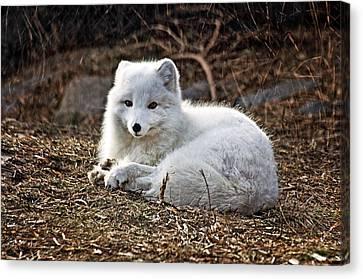 Snow Fox Canvas Print by Cheryl Cencich