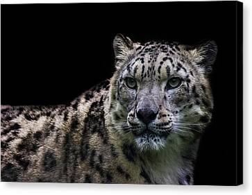 Snow Leopard Canvas Print by Martin Newman