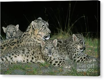 Snow Leopard Or Ounce Uncia Uncia Canvas Print by Gerard Lacz