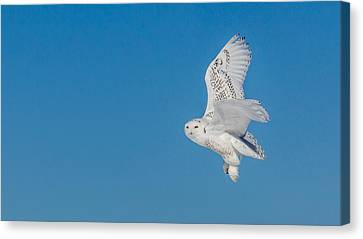 Snowy Owl Canvas Print by Dan Traun