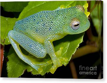 Spiny Glass Frog Canvas Print by Dante Fenolio