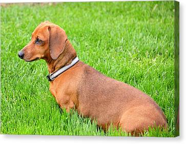 Dauschund Canvas Print - Stare by Michael Brown