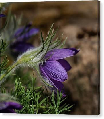 Pulsatilla Vulgaris Canvas Print - Stunning Macro Image Of Pulsatilla Vulgaris Flower In Bloom by Matthew Gibson
