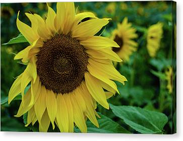 Sunflower Fields Canvas Print by Miguel Winterpacht
