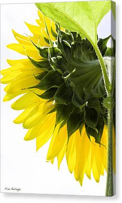 Sunflower Canvas Print by Fran Gallogly