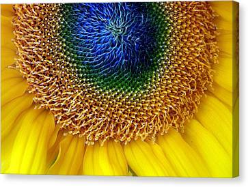 Sunflower Canvas Print by Jessica Jenney