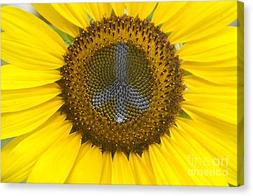 Sunflower Peace Sign Canvas Print by James BO  Insogna