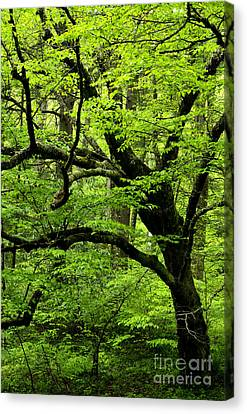 Swamp Birch Canvas Print by Thomas R Fletcher
