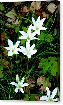 Swamp Lilies Canvas Print