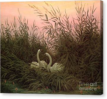 Swans In The Reeds Canvas Print