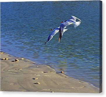 2 Terns In Flight Canvas Print