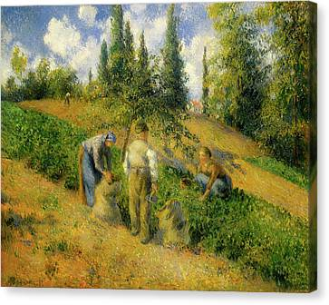 The Harvest, Pontoise Canvas Print by Camille Pissarro