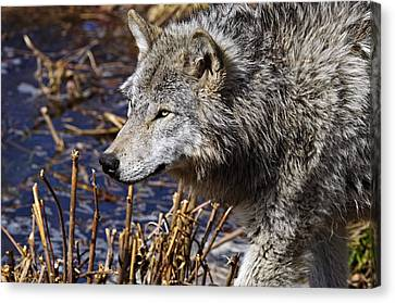 Canvas Print featuring the photograph Timber Wolf by Michael Cummings
