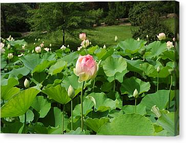 Tobin Series The Water Lilly's Canvas Print by Kicking Bear  Productions