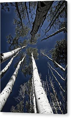 Towering Aspens Canvas Print by Timothy Johnson