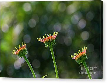 Coneflower Canvas Print - Trio by Veikko Suikkanen
