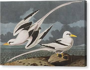 Tropic Bird Canvas Print