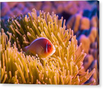 Tropical Fish Pink Clownfish Canvas Print by MotHaiBaPhoto Prints