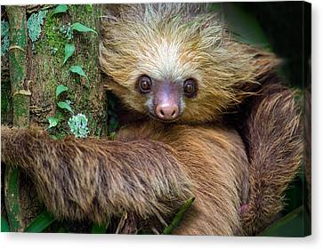 Two-toed Sloth Choloepus Didactylus Canvas Print by Panoramic Images