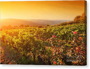 Vineyard In Tuscany, Ripe Grapes At Sunset Canvas Print by Michal Bednarek