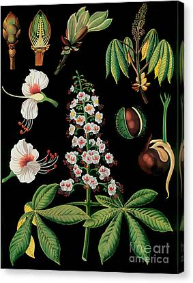 Vintage Botanical Canvas Print by Mindy Sommers