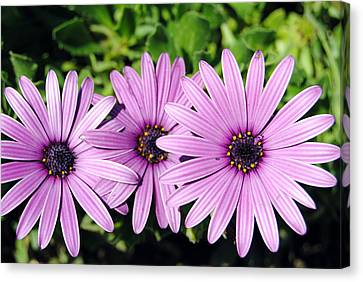 The African Daisy 2 Canvas Print