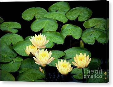 Water Lilies And Lily Pads Canvas Print by Amy Cicconi