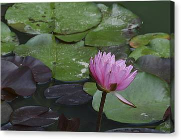 Water Lilies Canvas Print by Linda Geiger