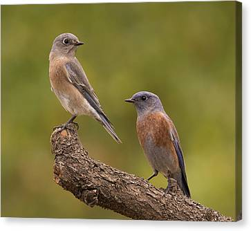 Western Bluebird Canvas Print by Doug Herr