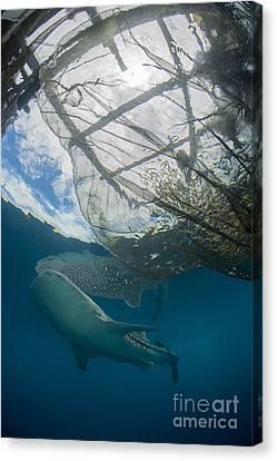 Whale Shark Swimming Canvas Print by Mathieu Meur