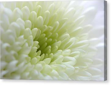 White Chrysanthemum Canvas Print