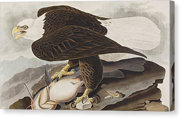 White-headed Eagle Canvas Print by John James Audubon