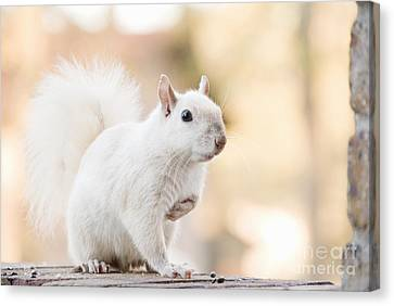 White Squirrel Canvas Print