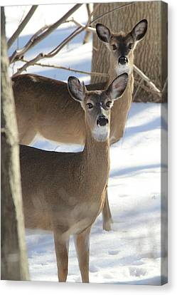 White Tailed Deer Smithtown New York Canvas Print by Bob Savage