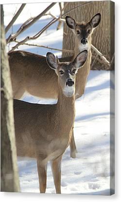 White Tailed Deer Smithtown New York Canvas Print