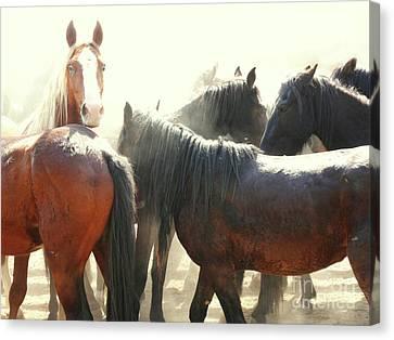 Wild Horses - Australian Brumbies 3 Canvas Print
