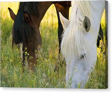 Wild Mustang Horses Canvas Print