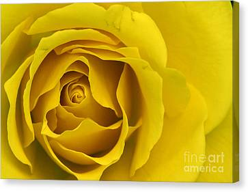 Yellow Rose Canvas Print by Adrian LaRoque