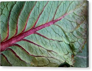 2010 Hydrangea Leaf Close Up 5 Canvas Print by Robert Morin