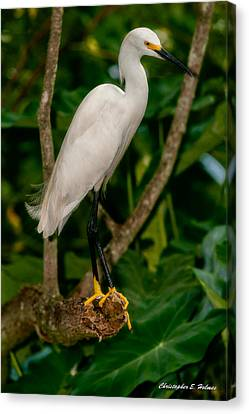 Canvas Print featuring the photograph White Egret by Christopher Holmes
