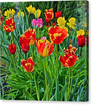 2015 Acewood Tulips 6 Canvas Print