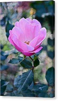 2015 After The Frost At The Garden Pink  Rose Canvas Print