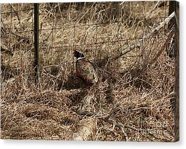 Ring-necked  Pheasant  Canvas Print by Lori Tordsen