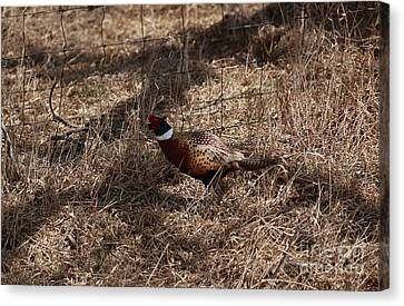 Ring-necked Rooster Pheasant  Canvas Print by Lori Tordsen