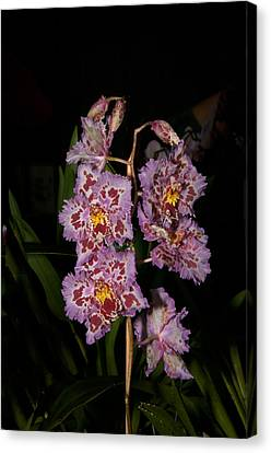 Cattleya Style Orchids Canvas Print by Carol Ailles