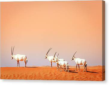 Canvas Print featuring the photograph Arabian Oryx by Alexey Stiop